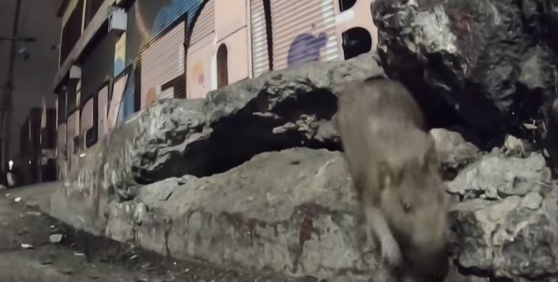 Which Major West Coast City Is Being Overwhelmed By Rats, Drugs