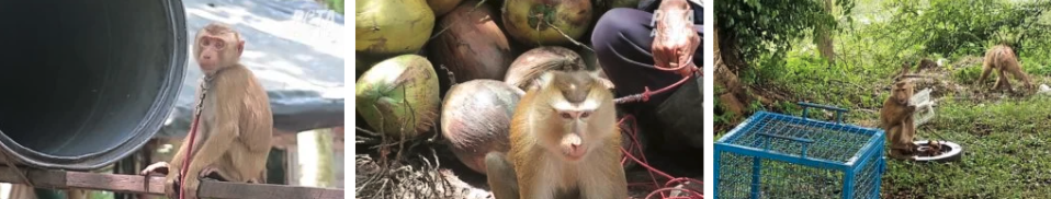 Western Supermarkets Drop Coconut Goods Picked By Slave Monkeys